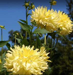 Dahlia Hill:  A Problem Site Transformed Into Garden Treasure