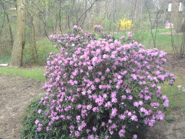 pjm_rhododendron