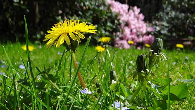 Dandelion in Meadow