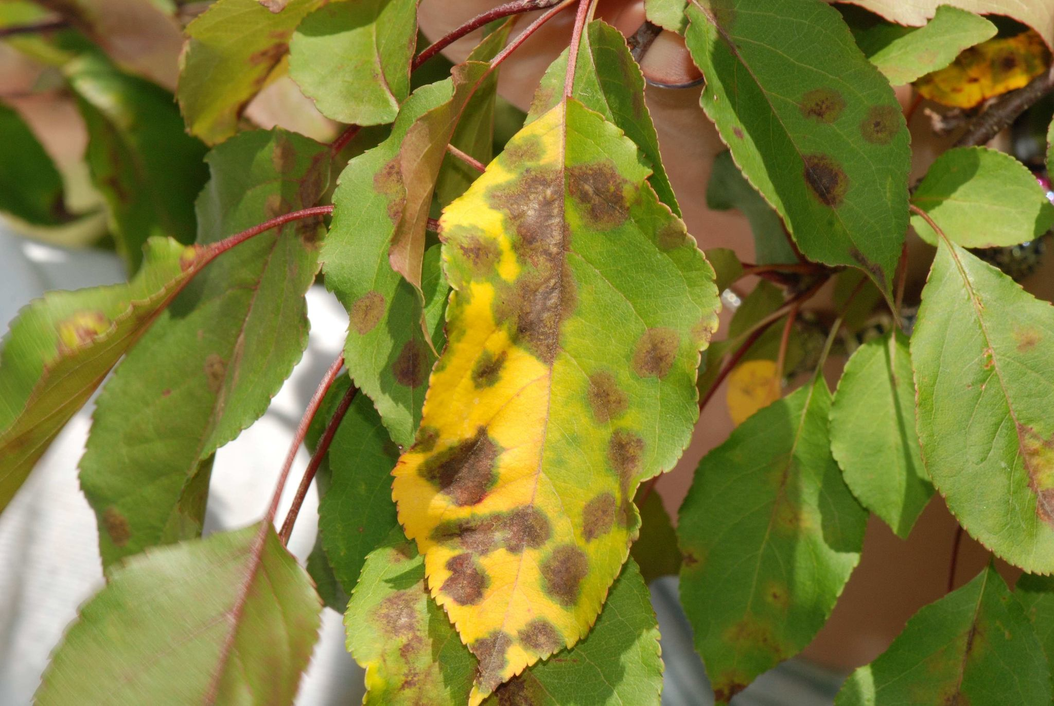 Be on the Lookout for Apple Scab, Mildew and Spruce Needle Cast
